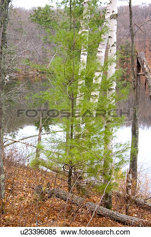 Stock Image of Three white birch trees behind a young green pine.