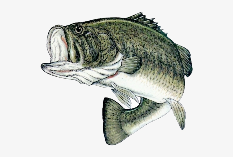Bass Fish Png PNG Images.