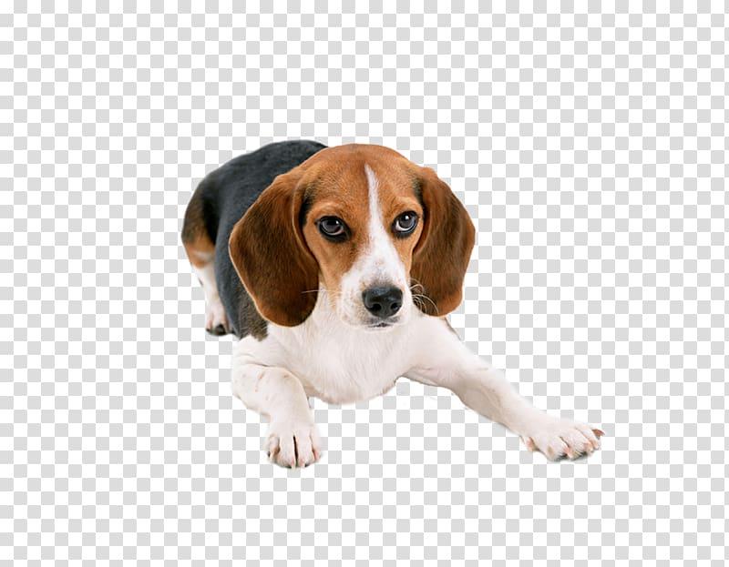 Beagle Basset Hound Puppy Cat Dog breed, Lovely large dogs.