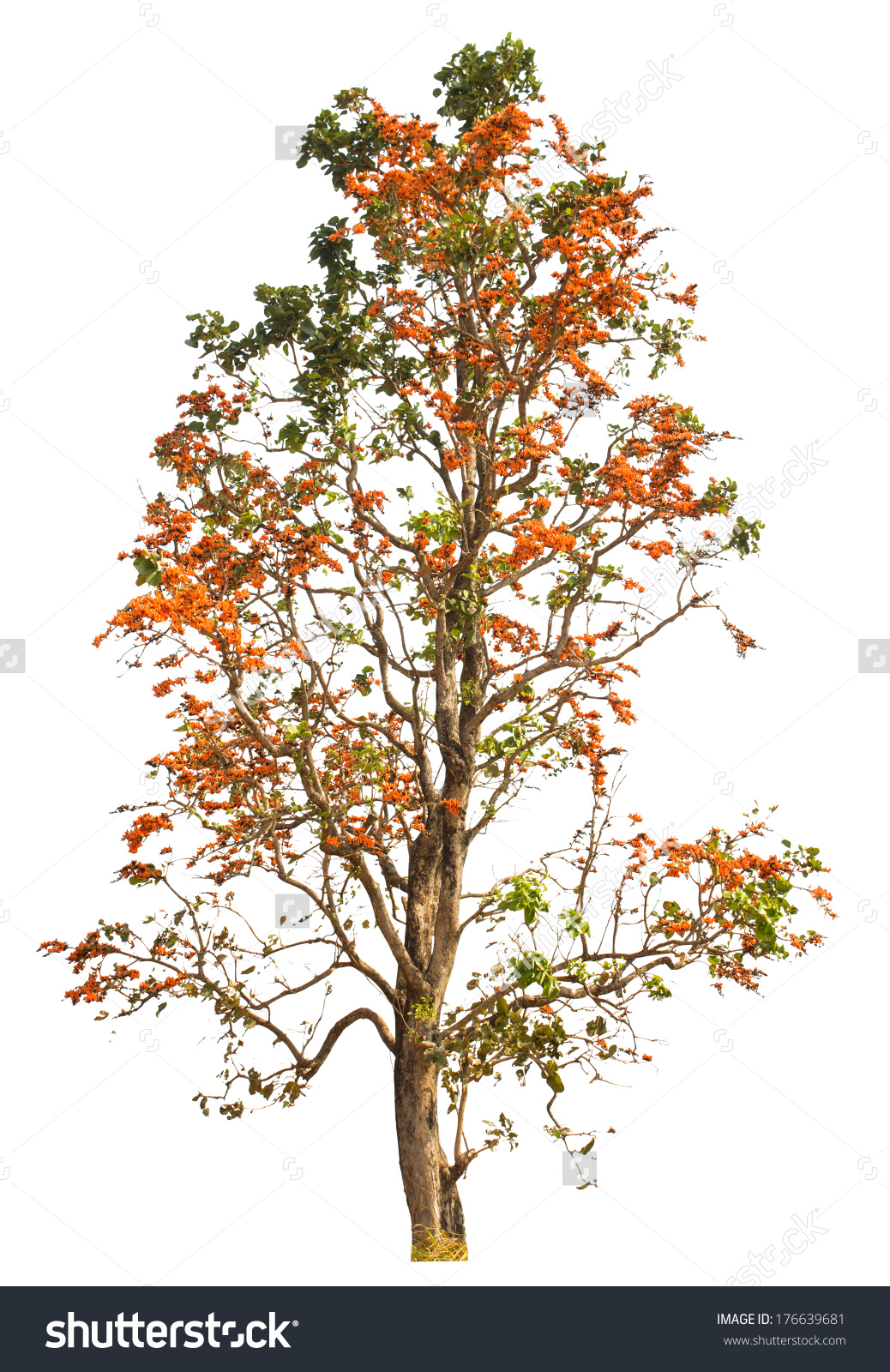 Bastard Teak Tree Bengal Kino Tropical Stock Photo 176639681.