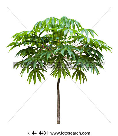 Stock Photography of Young Bastard poom tree k14414431.