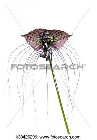 Stock Image of Tacca chantieri var macrantha, black bat flower.