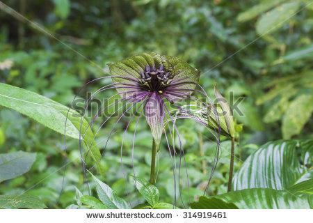 Bat Flower Stock Photos, Images, & Pictures.