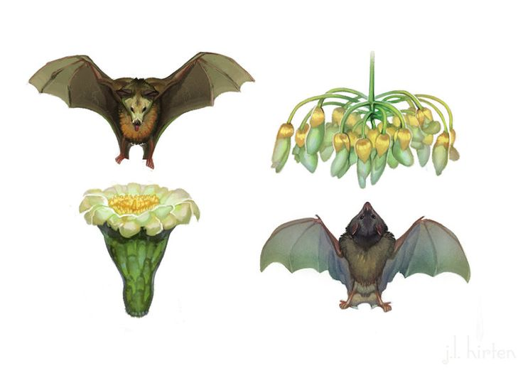 chiropterophily: bat pollination..