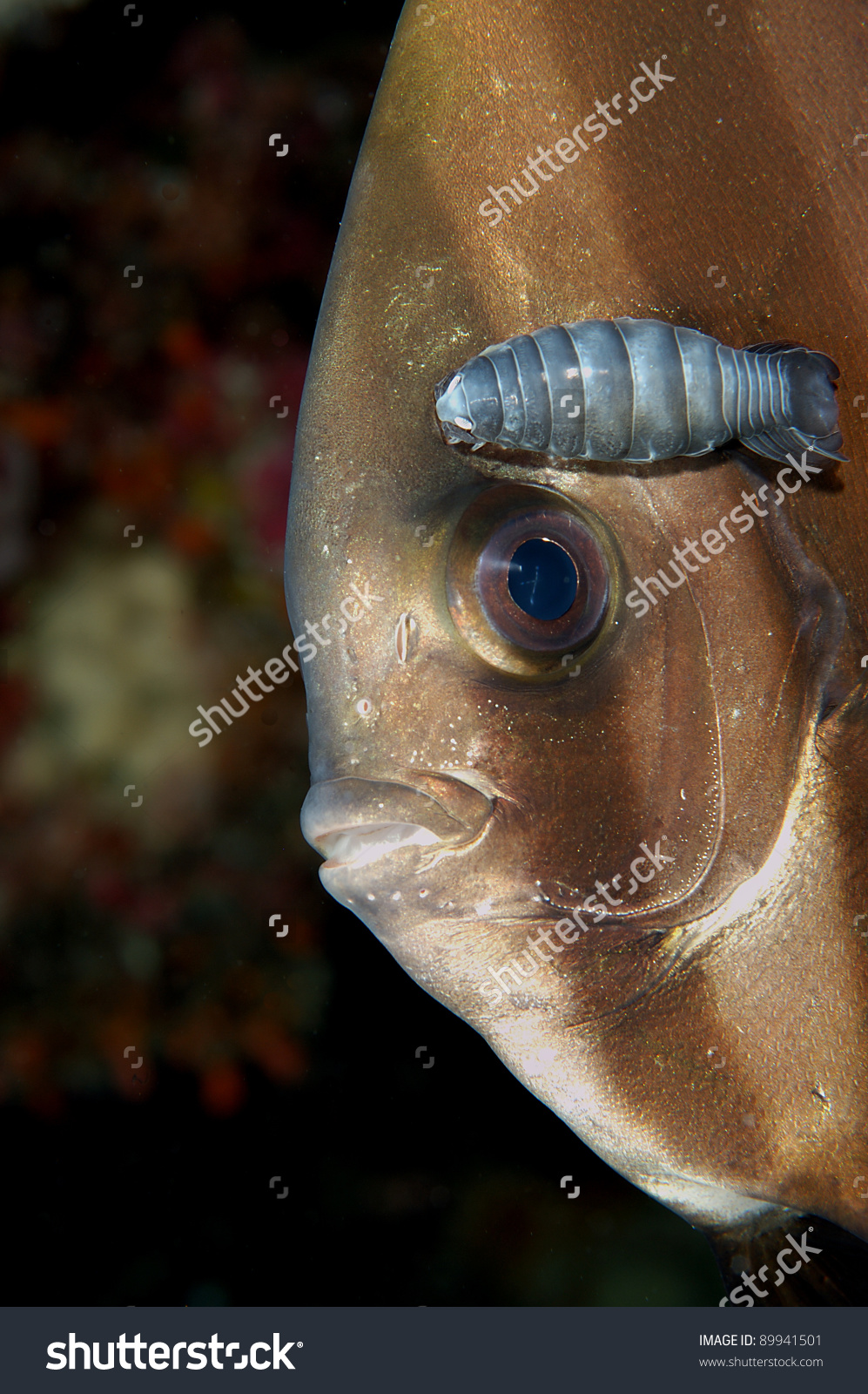 Batfish Copepod Stock Photo 89941501.