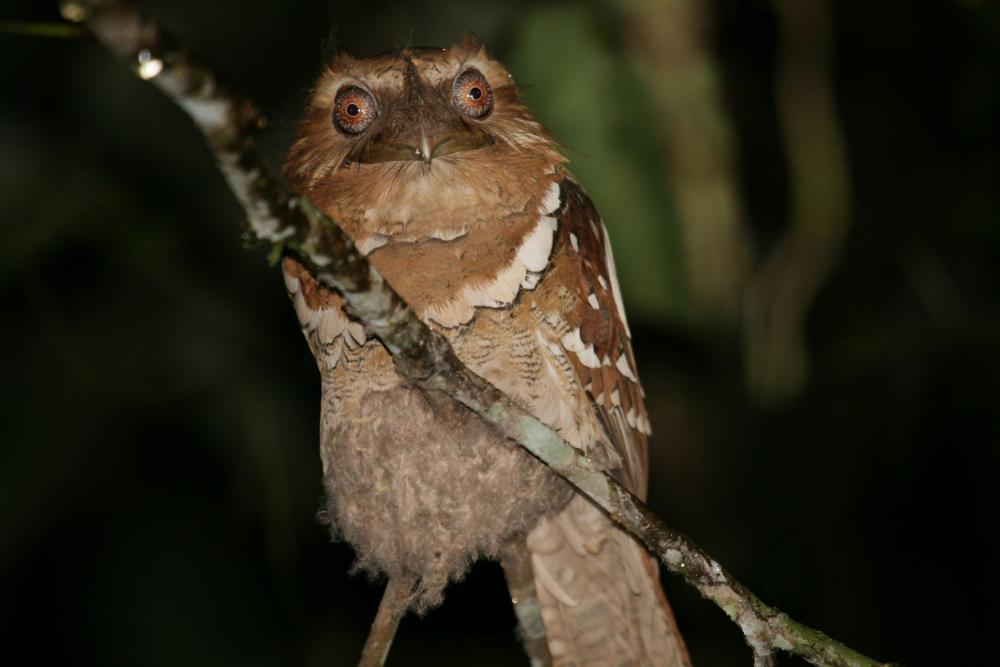 Philippine Frogmouth (Batrachostomus septimus) videos, photos and.