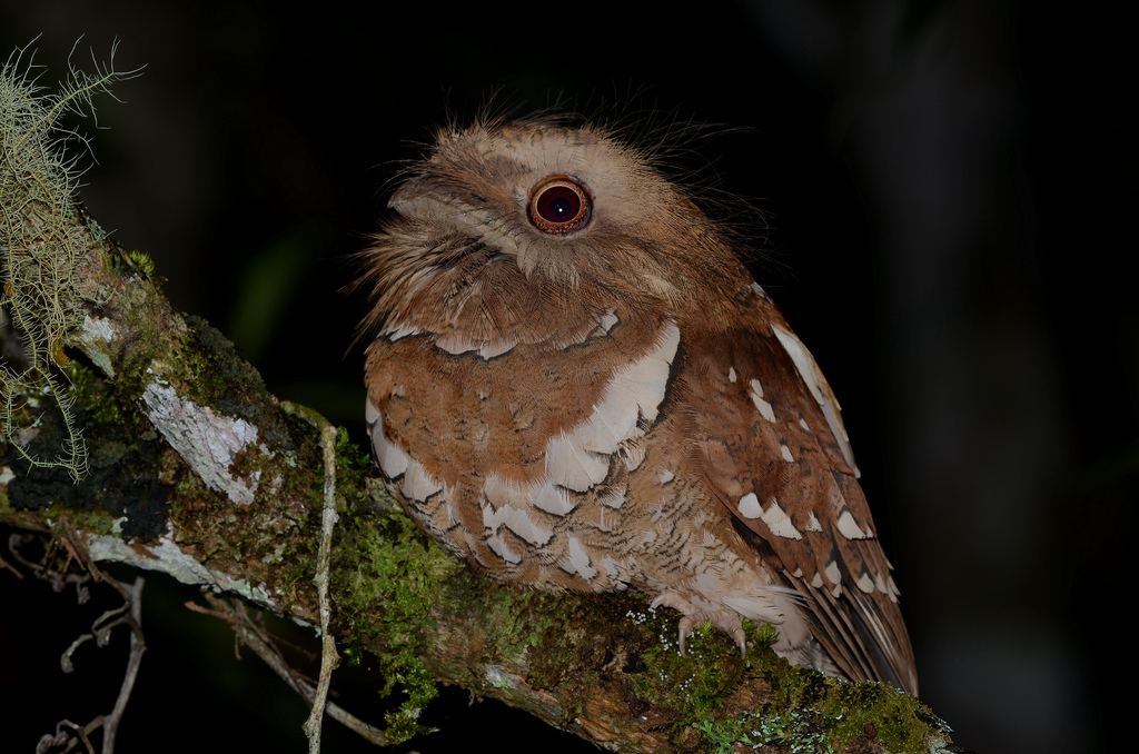 Philippine Frogmouth Batrachostomus septimus.