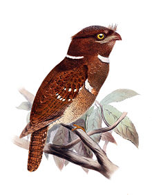 Philippine frogmouth.
