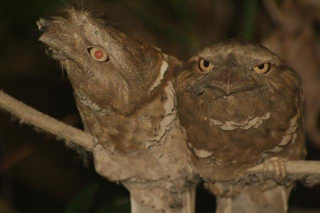 Philippine Frogmouth (Batrachostomus septimus) Close up of two.