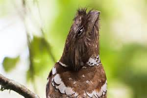 More on Batrachostomus septimus: Philippine Frogmouth.