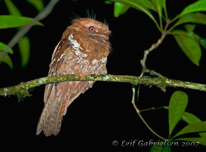 Mangoverde World Bird Guide Photo Page: Philippine Frogmouth.