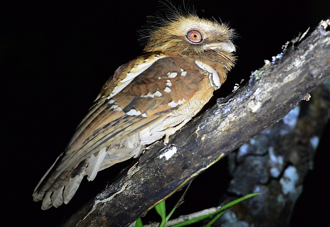 Oriental Bird Club Image Database : Philippine Frogmouth.