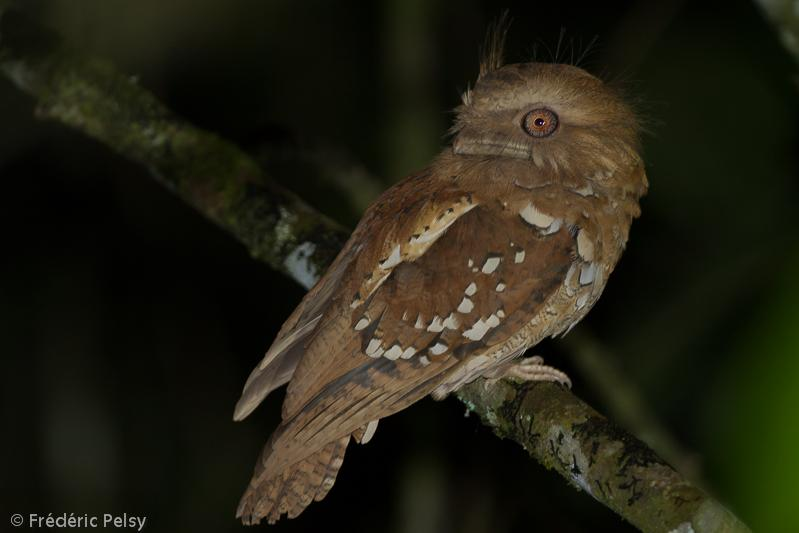 Philippine Frogmouth (Batrachostomus septimus) A bird on a branch.