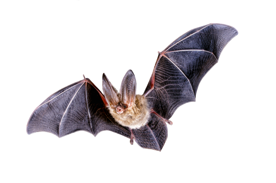 Bat PNG Transparent Images.