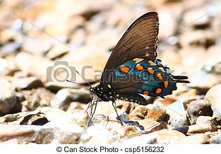 Stock Photo of Pipevine Swallowtail (Battus philenor).