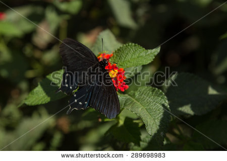 "pipevine Swallowtail"" Stock Photos, Royalty."