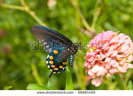 "butterfly On Purple Flower"" Stock Photos, Royalty."