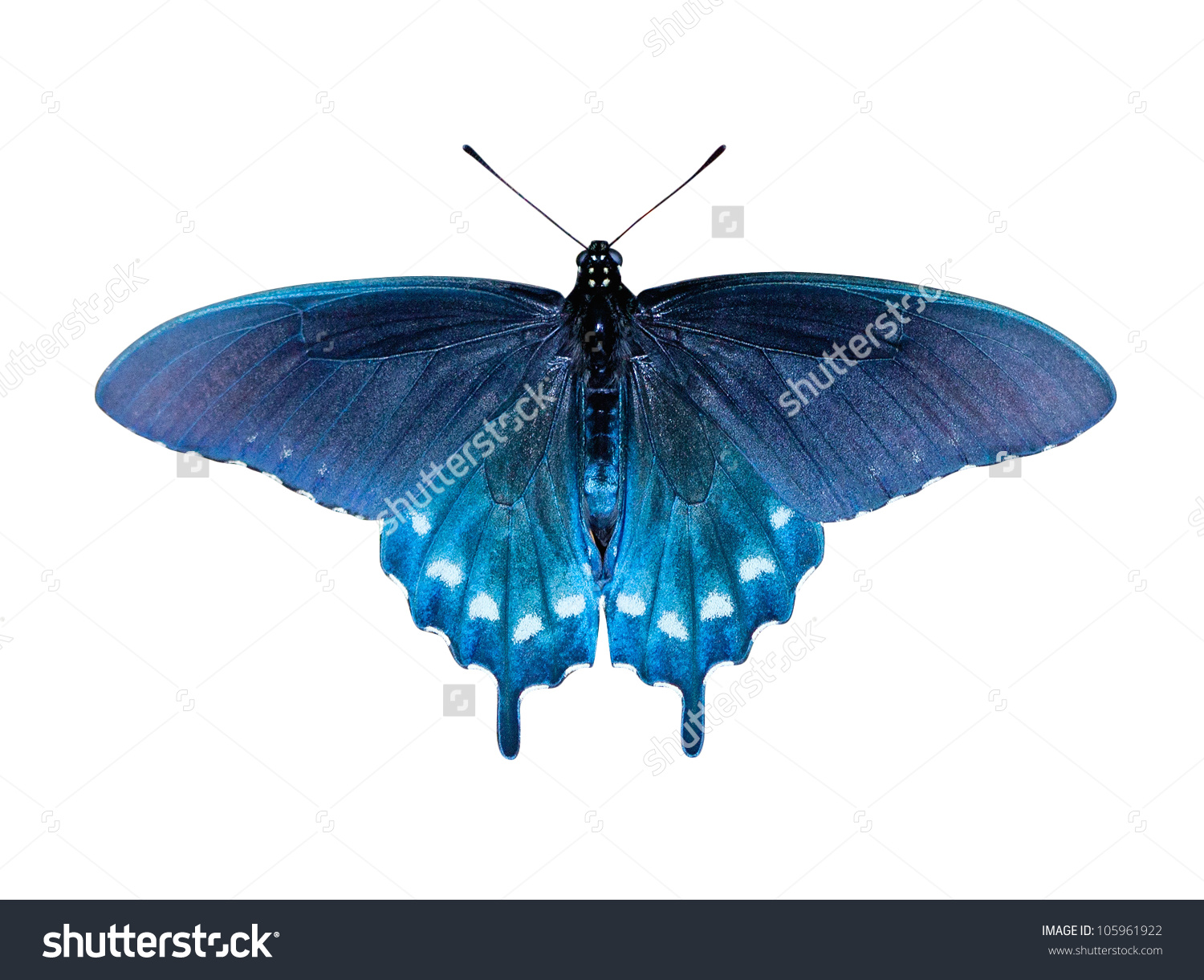 Pipevine Swallowtail Butterfly Battus Philenor Stock Photo.