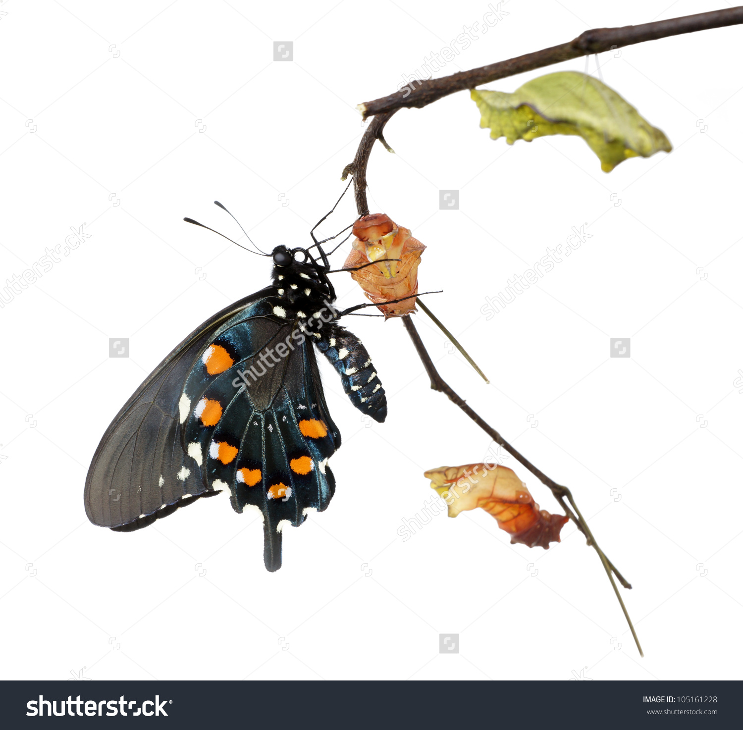 The Butterfly Pipevine Swallowtail (Battus Philenor) Emerging From.