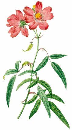 46002 Disocactus ackermannii (Lindl.) Ralf Bauer [as Epiphyllum.
