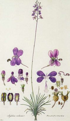 Picturing Plants and Flowers: Ferdinand Bauer: Cephalotus.