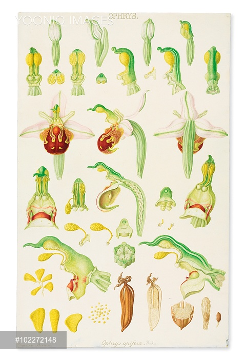 Watercolour from Delineation of exotic plants cultivated in the.