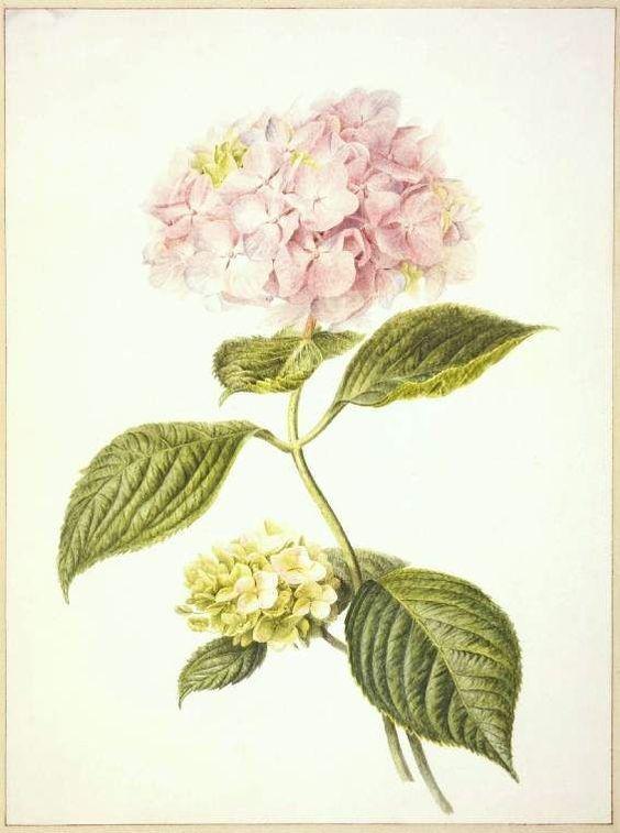 Hydrangea Botanical Art.