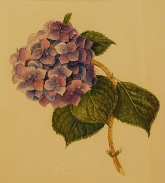 hydrangea botanical illustration.