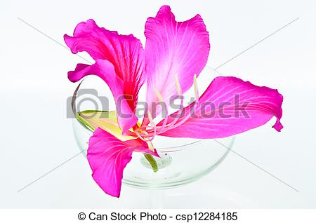 Pictures of Purple Bauhinia in glass right. csp12284185.