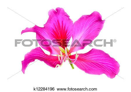 Stock Images of Purple Bauhinia k12284196.
