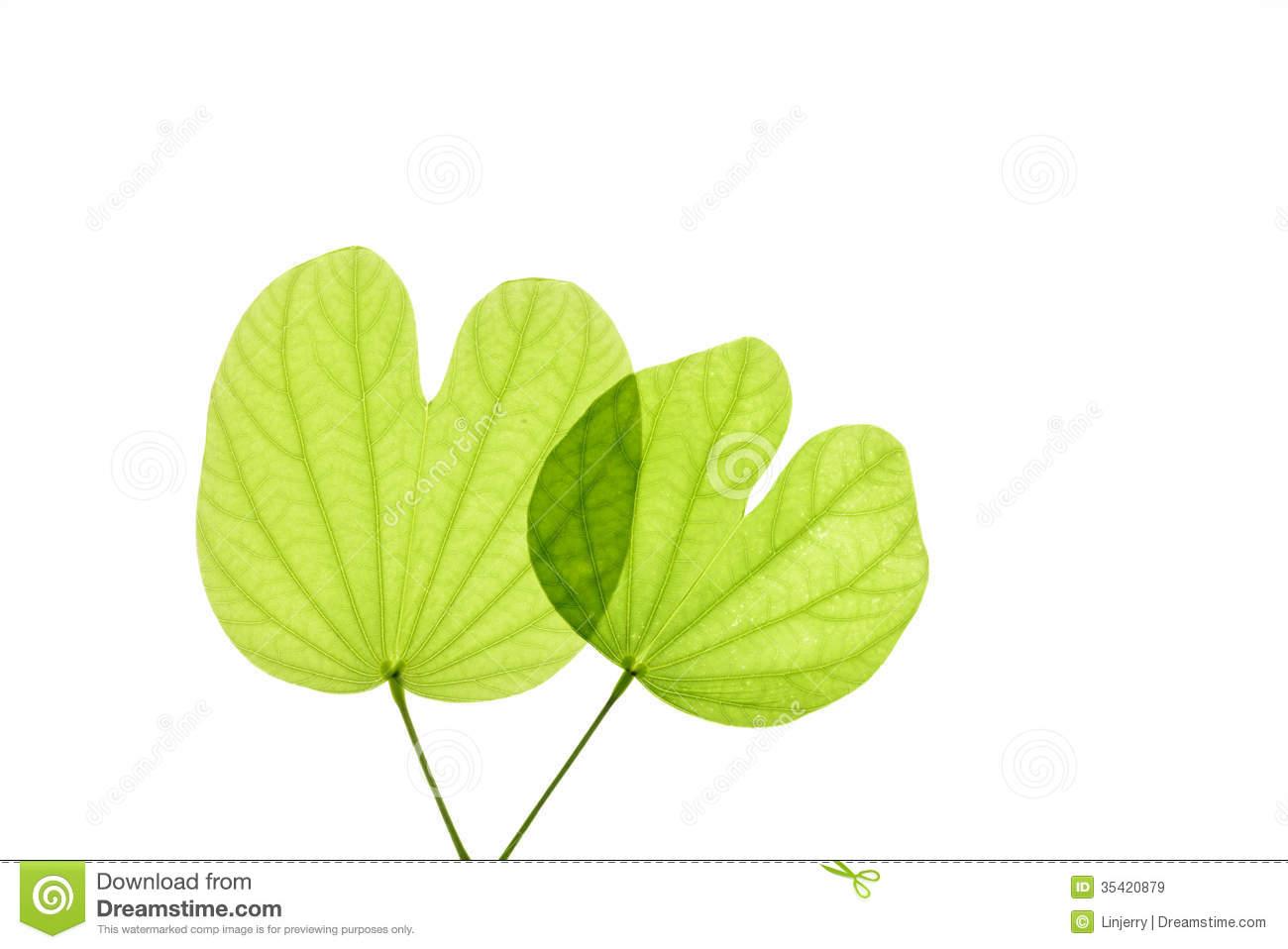 Bauhinia Leaf Stock Photos, Images, & Pictures.