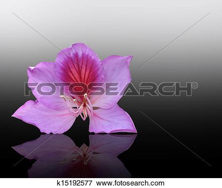 Stock Illustration of Orchid tree flower Bauhinia k15192577.