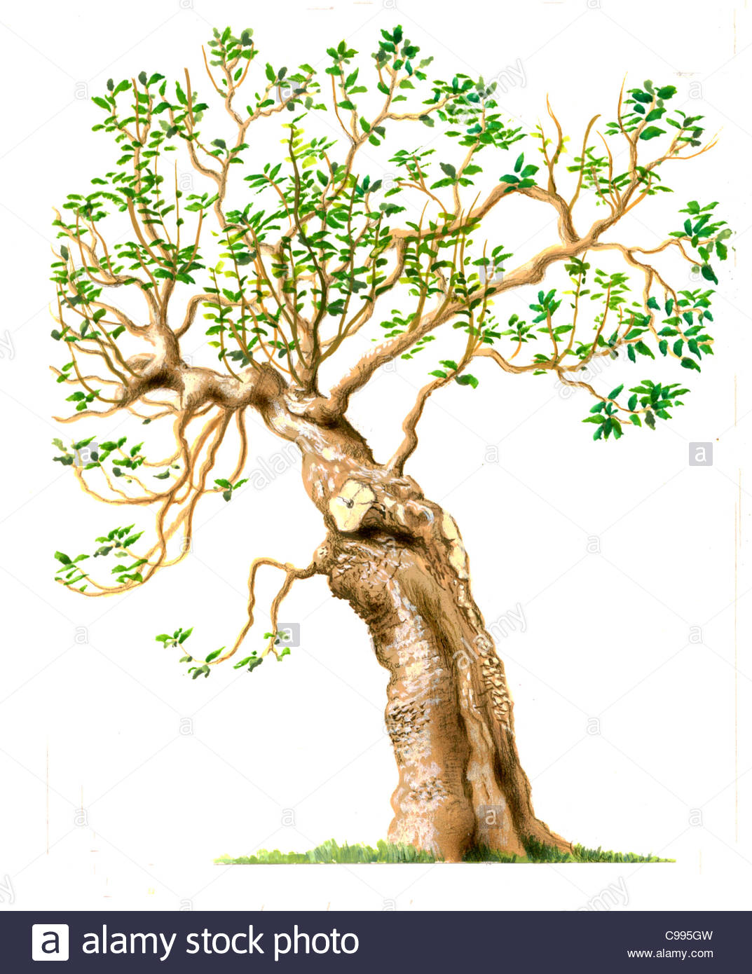 Fig Tree Series Baume Stock Photo, Royalty Free Image: 40154601.