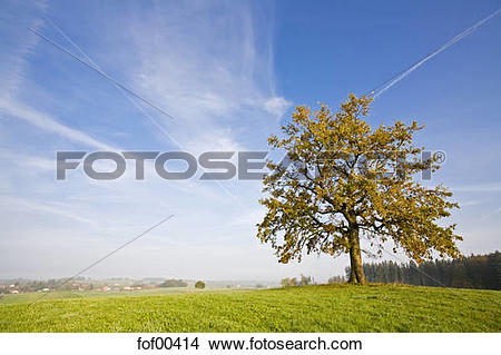 Stock Photo of Germany, Bavaria, Beech tree fof00414.