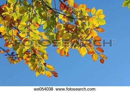 Pictures of Beech tree (Fagus sylvatica) leaves in autumn. Bavaria.