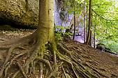 Stock Photo of Bifurcation in beech tree forest Deciduous forest.