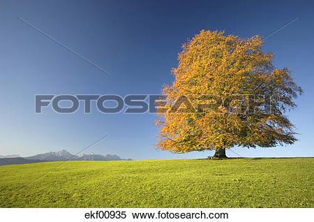 Stock Image of Germany, Bavaria, Single beech tree (Fagus.