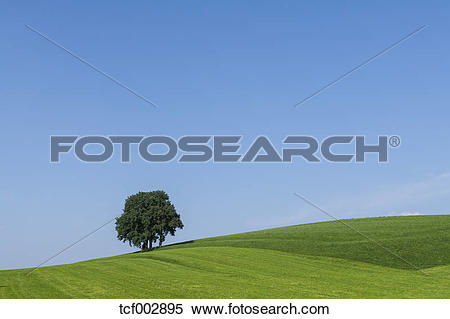 Stock Image of Germany, Bavaria, Beech tree on meadow tcf002895.