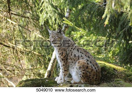 Stock Photography of Eurasian lynx (Lynx lynx) in Bavarian Forest.