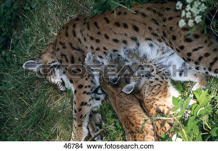 Stock Photo of Female Lynx (Lynx lynx) nursing its kitten.