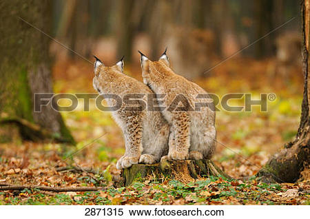 Stock Image of Two bobcats (Lynx rufus) sitting in forest.