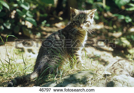 Picture of European Wild cat's (Felis silvestris) kitten sitting.