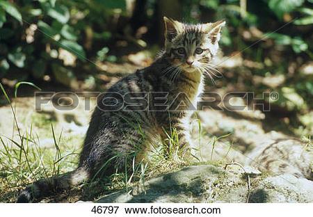 Picture of European Wild cat's (Felis silvestris) kitten sitting.