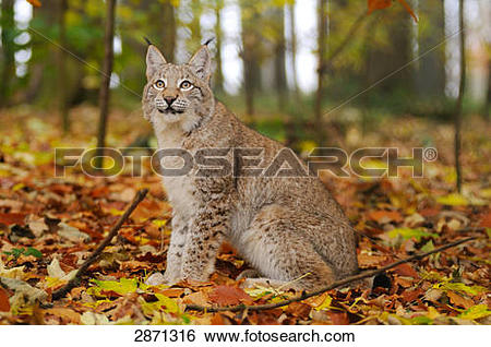 Stock Images of Bobcat (Lynx rufus) sitting in forest, Bavarian.