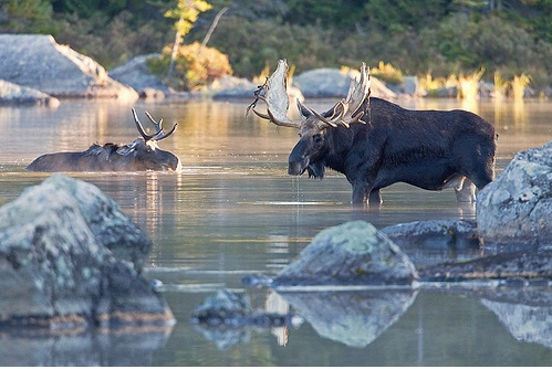 1000+ images about Moose in the Maine Woods on Pinterest.
