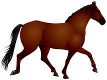 Bay Horse Stock Illustrations.