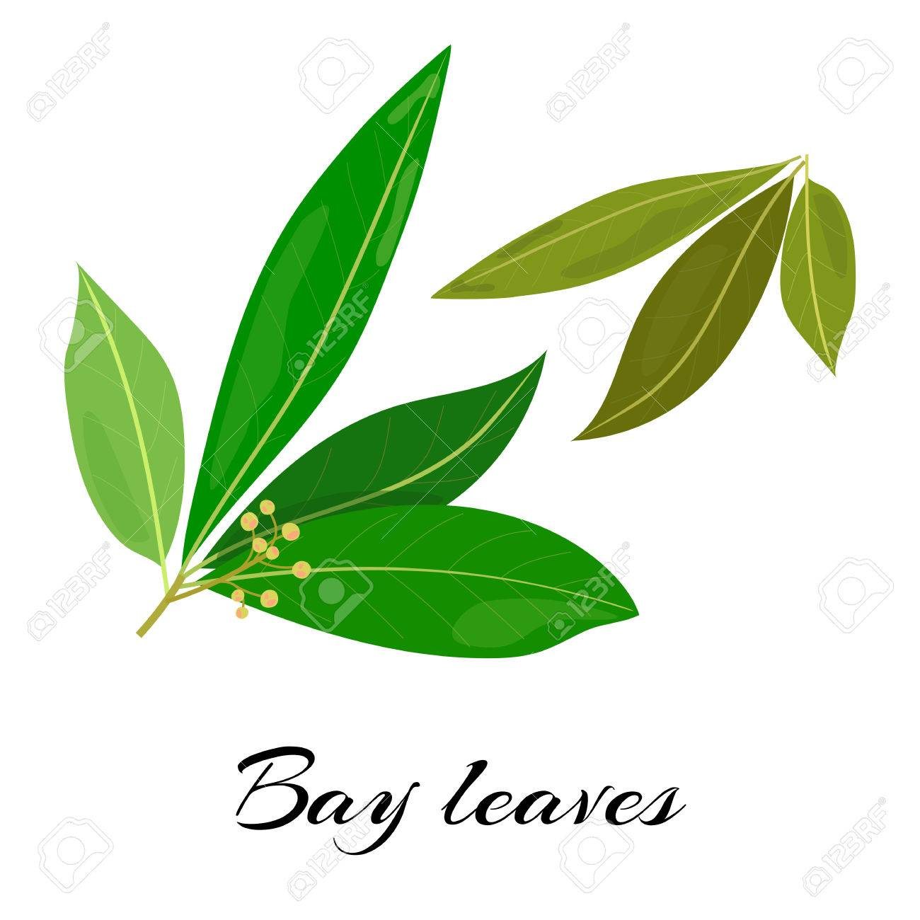 Raw and dried bay leaves. Latin.