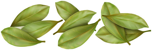 Dried Bay Leaves Stock Illustrations.