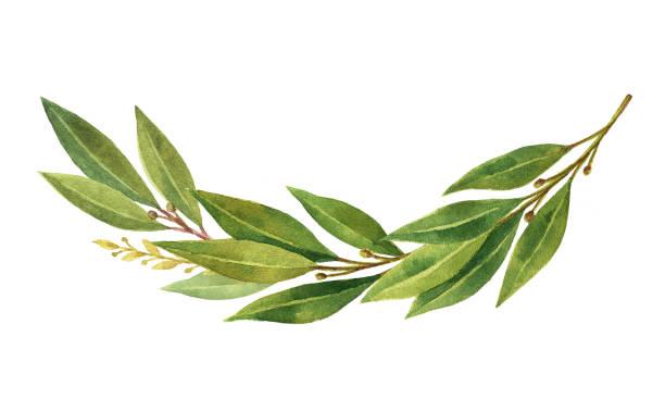 Best Bay Leaf Illustrations, Royalty.