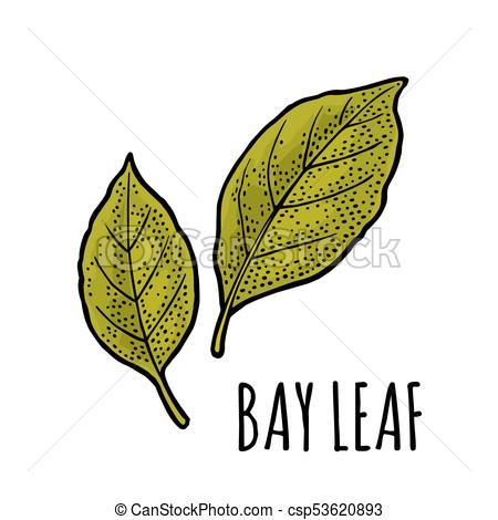 Two bay leaves. Engraving vintage black illustration..